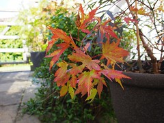 Japanese Maple ready for autumn (vanstaffs) Tags: japanesemaple acer