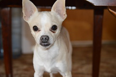 Close Up (kaywhitefeather) Tags: portrait dog chihuahua dogs animals puppy photography nikon focus photos animallover indoor mansbestfriend framing upclose amateur autofocus d3200