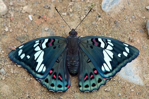 Euthalia lubentina - the Gaudy Baron