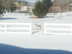 March 7, 2015 - A coyote pays a surprise visit to a Broomfield neighborhood. (David Canfield)