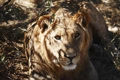 Grassland_20090607_008-2 (Bourgeois Jean) Tags: elephant animals canon african wildlife lion delta safari zimbabwe canon5d giraffe hippo botswana bourgeois grassland namibia kalahari chobe moremi okavango namibie caprivi mankwe canoneos5d eos5d tsodilo animauxsauvages kwaai afriqueaustrale jeanbourgeois nabimian