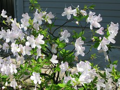 New Orleans: Riverbend: white azalea (green voyage) Tags: flowers usa gardens march spring louisiana afternoon azaleas neworleans shrubs historicneighborhoods riverbendneighborhood gulfcoastregion historicneighbourhoods