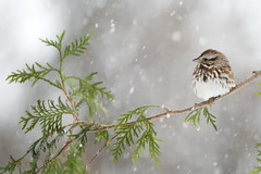 Spring is not quite here, yet (rsusanto) Tags: bird sparrow