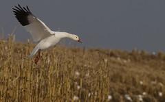 Full Flaps (paulv2c) Tags: wild snow bird nature birds geese wildlife flight goose migration middlecreek