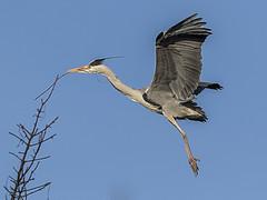 Heron (Paul A West (www.pwest.me)) Tags: heron stanleypark blackpool herons