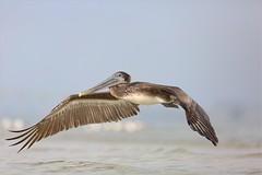 "Brown Pelican "" Female"" (Daniel Behm Photography) Tags: bird beach nature female florida pelican brownpelican bunchebeach behm danielbehm"