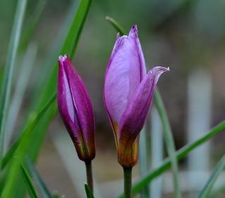 Tulipa Humilis, in my garden. - On Explore -