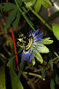 Passiflora caerulea (betadecay2000) Tags: blue brazil plant flower fleur argentina brasil america south laub pflanze tags brasilien lila tropical bloom paraguay passiflora pollen grün amerika blüte passionflower passionsblume stempel violett maracuja caerulea blüten ranken blühen regenwald weis passiebloem tropen kletterpflanze شوق südamerika actinia çarkıfelek ranke passionsfrucht tropische blütenpflanze hinzufügen staubbeutel トケイソウ krunica brasilie blütte пасифлора kletterpfanze lulesahati пассифлора 西番莲 passiflory passifloaraceae gospodinova urauguay