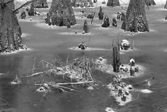 Ice swamp (baro-nite) Tags: trees bw film pentax kx fujineopan100acros ddx epsonv700 smcpentax11885mm