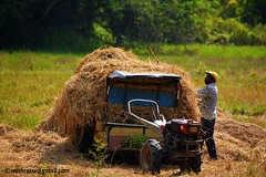 rice to the mill (mithra srilanka) Tags: srilanka paddyfield riceharvest kamatha handtractor paddyland paddyharvest ricesheafs pollonnaru