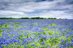 Sea of Bluebonnets, Muleshoe Bend (KLMP) Tags: texas wildflowers hdr highdynamicrange bluebonnets muleshoebend