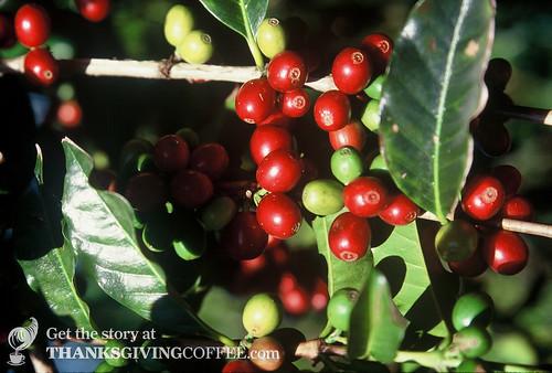 Healthy, Red Ripe Coffee Cherries