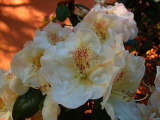 les rhododendrons en fleurs !