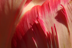 Detail Of A parrot Tulip (gripspix (OFF)) Tags: plant abstract texture nature natur pflanze petal tulip abstrakt tulpe parrottulip bltenblatt textur papageientulpe 20160505