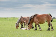 14052016-_DSC0024 (vidjanma) Tags: cheval poulain ardennais