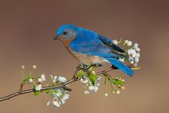 Eastern bluebird male (Phiddy1) Tags: ontario canada male bluebird easternbluebird