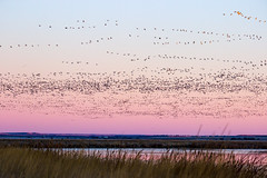 Freezout - the Flock (ebhenders) Tags: mountain lake sunrise spring montana north rocky front migration choteau snowgoose freezout