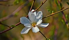 Magnolia kobus DC borealis (L.Lahtinen) Tags: flower tree nature beautiful beauty japan japanese spring flora bokeh magnolia nikkor puu springtime luonto springflower magnoliakobus nikond3200 kevt kukka kukinta kobushimagnolia kevtkukka 55300mm 55300mmf4556gvr japaninmagnolia