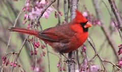 Cardinal in Cherry Tree (DrPhotoMoto) Tags: cardinal northcarolina cherryblossom richmondcounty