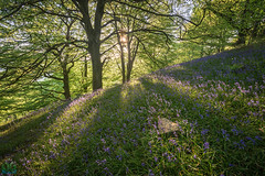 Bluebells (James G Photography) Tags: sunset bluebells woodland woods derbyshire lea cromford bowwood bilberryknoll