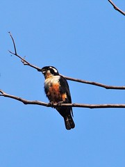 Black-thighed Falconet (WilliamPeh) Tags: wild black bird birds animal outdoor wildlife birding olympus explore falcon omd em5 falconet thighed