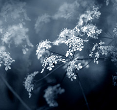 Misty blue (GillK2012) Tags: uk nature spring wildflower cowparsley