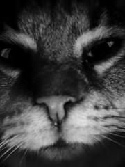 Der Tijer (chicitoloco) Tags: ga gato neko katze suki der kater katz katzo tijer dertijer nekogasuki
