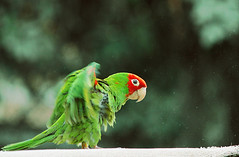 Lorito (Marita's Photography) Tags: naturaleza verde animal canon de bokeh ave pico alas campo mirada loro fotografa volar profundidad