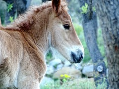 Colt (gemma1213) Tags: espaa horse mountain animals montagne caballo cheval spain catalonia animales montaa animaux espagne colt catalua potro poulain catalogne