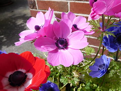 Pink time (quintinsmith_ip) Tags: blue red white plant flower colour bright pot anemone ranunculaceae cymes daughterofthewind