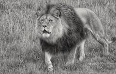 Aufmerksame Mitzekatze (rollirob) Tags: germany zoo nikon nrw afrika lwe telezoom savanne raubtiere zoowuppertal raubkatzen grosskatzen nikond800 lwenmnnchen tamron150600mm