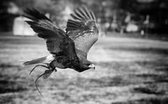 Slave buzzard (Krsz-Kiss Pter) Tags: blackandwhite bw bird nature monochrome animal canon 50mm flying blackwhite wings wildlife wing wildanimal hunter bnw bwphoto blackandwhitephotography wildanimals birdofpray bnwphotography canon650d bnwsociety bnwlife
