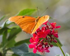 B36C4899 (WolfeMcKeel) Tags: vacation lake butterfly keys spring key julia florida wildlife butterflies national crocodile largo refuge nwr 2016 floridakeys2016vacationspring