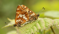 Duke of Burgundy Butterfly (Hamearis lucina). (Sandra Standbridge.) Tags: beautiful butterfly insect outdoor mating hillside rare rarespecies wildandfree thematinggame dukeofburgundybutterflyhamearislucina