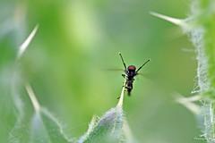 Coucou!! (Mariie76) Tags: macro nature noir vert yeux animaux coucou feuilles insecte mouche verdure pattes salut rouges macrophotographie diptre