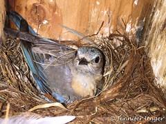 2016-05-24 06.49.07 (jenway78) Tags: 1birds 1treebirds thrushes webbnests westernbluebird