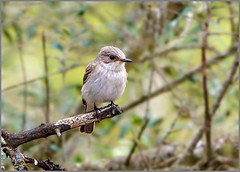 Balearic Spotted Flycatcher (Muscicapa striata balearica), Mallorca (Warrener) Tags: spotted mallorca flycatcher balearic muscicapastriatabalearica