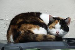 Kitty looking at the camera (Moldovia) Tags: pet animal cat feline kitty stare catalog catpix bridgecamera catspotting catmoments catnipaddicts catsunleashed fujifilmfinepixhs50exr
