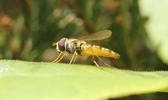 3133 Episyrphus balteatus (jon. moore) Tags: warwickshire diptera episyrphusbalteatus prioryfields