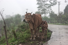 Ninh Binh (Vicky Yantorno) Tags: travel field animals fog ruta skinny cow asia southeastasia eating south foggy vietnam viet campo animales rainny ninhbinh rainnyday