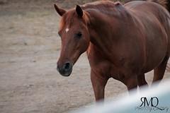Caballo PR // PR horse (Marina Quilon Photography) Tags: horses horse caballo cheval caballos pra cavalos pura cavalo pferd equestrian equine raza rabe equitacion