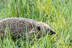 Hedgehog (Kenjirio) Tags: summer animals wildlife zomer zandvoort amsterdamse 2016 waterleidingduinen waternet