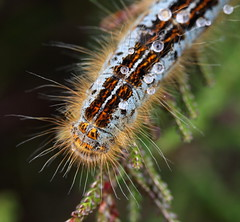 """Malacosoma castrensis"" ( after the rain) (bugman11) Tags: macro nature rain animal animals fauna canon bug insect droplets drops nederland thenetherlands insects drop bugs droplet 1001nights catterpillar catterpillars thegalaxy 100mm28lmacro 1001nightsmagiccity"