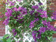 ** Clématites sur treillis ** (Impatience_1(retour progressif)) Tags: parterresdeclo clématite clematis fleur flower plantegrimpante creeper plant plante treillis m impatience climbingplant saveearth supershot coth abigfave citrit alittlebeauty sunray5 coth5 100commentgroup