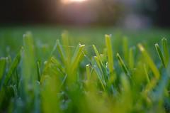 golden 2 (Sais Photography) Tags: lighting light macro green nature grass dark photo nikon bokeh picture pic backlit nikkor magichour goldenhour macrolens micronikkor