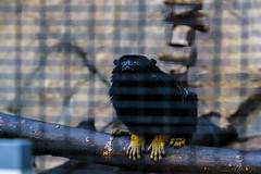 Red-Handed ? (anubhabbehera) Tags: zoo monkey golden tamarin