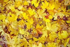 Autumn Leaves In Kielder (Doha Sam) Tags: uk england film 35mm nikon kodak iso400 scan negative liam 400 analogue fe portra coolscan lise kielder c41 portra400 nikonscan kielderforest colorneg coolscan9000ed newportra colorperfect samagnew smashandgrabphotocom linearscan wwwsamagnewcom piccure