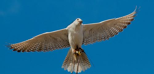 Flight of the Raptors II