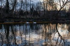 King's Cross Central (Gary Kinsman) Tags: trees sunset reflection london water canal quiet crane dusk regentscanal swans kingscross empy n1 2015 topographics canon35mmf2 newtopographics kingscrosscentral canoneos5dmarkii canon5dmkii canon5dmarkii kingscrossrailwaylands