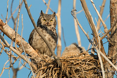 Female Great Horned Owl keeps watch on her young ones